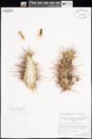 Echinocereus engelmannii var. engelmannii image