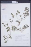 Image of Galactia brachystachys