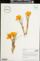Image of Crocus gargaricus