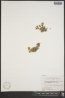 Image of Oxytropis pygmaea