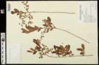 Image of Vaccinium australe
