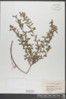Ascyrum hypericoides var. multicaule image