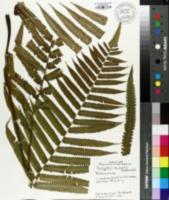 Thelypteris truncata image