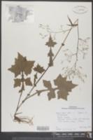 Mycelis muralis image