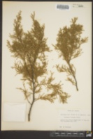 Image of Juniperus lucayana