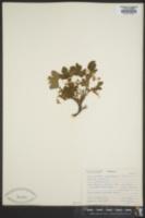 Image of Ribes acerifolium