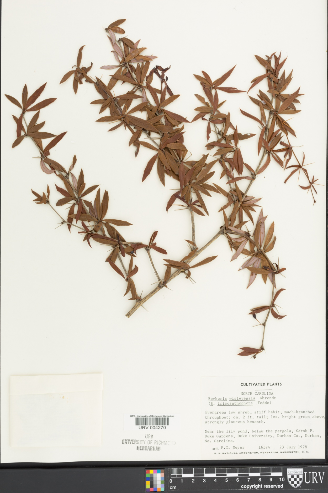 Berberis wisleyensis image