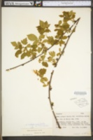 Rubus michiganensis image