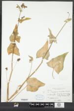 Fagopyrum tataricum image