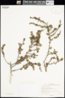 Image of Ceanothus verrucosus