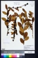 Lyonia lucida image