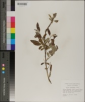 Salix floridana image