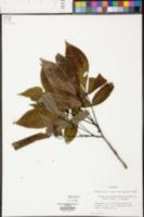 Carya carolinae-septentrionalis image