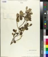 Image of Savia bahamensis