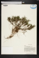 Dichanthelium acuminatum subsp. implicatum image