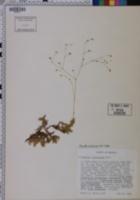 Sabulina caroliniana image