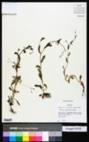 Myosotis macrosperma image