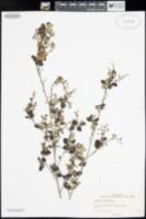 Image of Ceanothus tomentosus