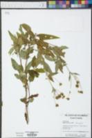 Bidens alba image