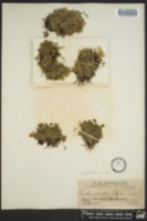 Trichomanes punctatum subsp. floridanum image