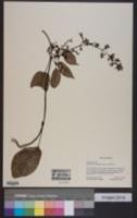 Marsdenia tomentosa image