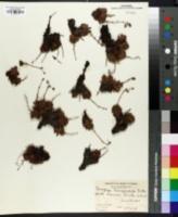 Image of Saxifraga tricuspidata
