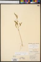 Sphaeralcea angusta image