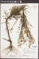 Chrysopsis linearifolia image