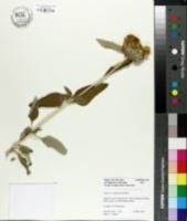 Image of Phlomis cashmeriana