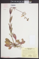 Image of Penstemon australis