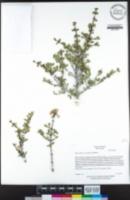 Ceanothus arcuatus image