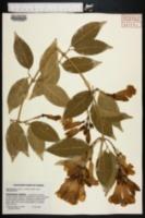 Image of Mansoa alliacea