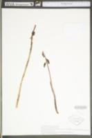 Image of Corallorhiza bentleyi