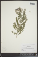 Amorpha canescens image