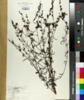 Image of Gerardia fasciculata
