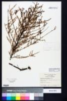 Ceanothus microphyllus image