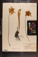 Image of Sarracenia harperi