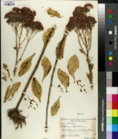 Image of Sedum alboroseum
