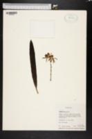 Encyclia lancifolia image