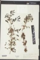 Indigofera suffruticosa image