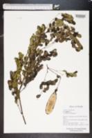 Image of Lysiloma sabicu