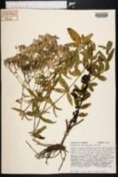 Image of Eupatorium petaloideum