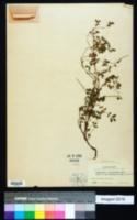 Image of Chamaesyce berteriana