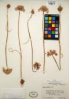 Allium howellii image