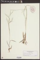 Dichanthelium dichotomum var. roanokense image