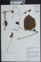 Cuscuta japonica image