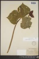 Trillium sulcatum image