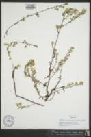 Symphyotrichum lanceolatum var. latifolium image