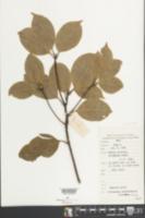Image of Cinnamomum porrectum