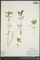 Alternanthera sessilis image